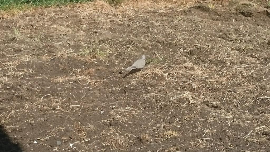 Taube freut sich über Würmer
